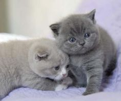 British Shorthair Kittens so cute