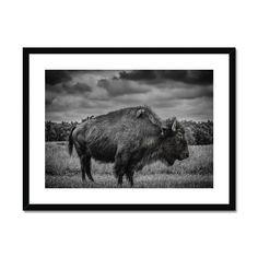 The Bison Framed & Mounted Print – Trigger Image Buy Prints, Prints For Sale, Bison, Us Images, Satin Finish, Clean Lines, Fine Art Paper, Window, Surface
