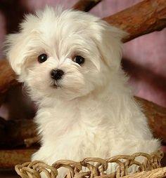 maltese lovely white puppy dog