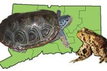 Watch for salamanders on warm, rainy evenings in April, in the Northeast -- Online Guide to the Amphibians and Reptiles of Connecticut | Herpetology : Vertebrate Zoology : Collections : Yale Peabody Museum of Natural...