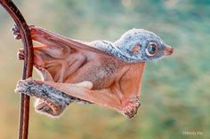 Flying lemur, (order Dermoptera), also called colugo, either of the two species of primitive gliding mammals found only in Southeast Asia and on some of the Philippine Islands. Flying lemurs resemble large flying squirrels, as they are arboreal climbers and gliders that have webbed feet with claws