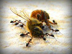 Un neonicotinoide es un tipo pesticida sistemático relativamente nuevo a base de nicotina, es implantado en las semillas para que al crecer, las plantas retengan el pesticida y así maten a los insectos que se alimentan de ellas. Desde el 2005, el año en que se empezaron a utilizar este tipo de químicos en las plantas, se han incrementado de manera inesperada el número de muertes de abejas.