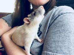 Sweet Reepicheep enjoying some fresh air #aww #cute #rat #cuterats #ratsofpinterest #cuddle #fluffy #animals #pets #bestfriend #ittssofluffy #boopthesnoot