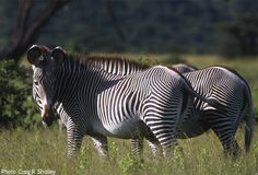 The long-legged Grevy's zebra is the largest of the wild equids. It is distinguished by its unique stripes, which are as distinctive as human fingerprints. It is taller, and has larger ears and narrower stripes than plains zebras. Zebra Pictures, Plains Zebra, Wildlife Conservation, Fingerprints, African Animals, Zebras, Long Legs, Livestock, Animal Kingdom