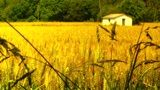Wheatfield In The Summer 05 Stylized Stock Video Footage www.motionelements.com/stock-video-978072-wheatfield-in-the-summer-05-stylized?ref=41NTPJR