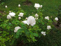 love my roses