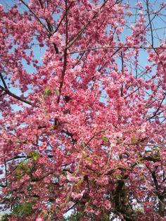 cerejeira da minha rua