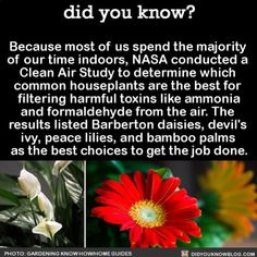 Did You Know?: Barberton Daisies, Devil's Ivy, Peace Lilies, Bamboo Palms Are The Best Plants That Help Clean The Air Inside The More You Know, Good To Know, Did You Know Funny, Angst Quotes, Peace Lily, Wtf Fun Facts, Random Facts, Crazy Facts, Simple Life Hacks