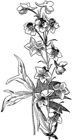 larkspur drawing - Google Search