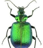 beetle wing