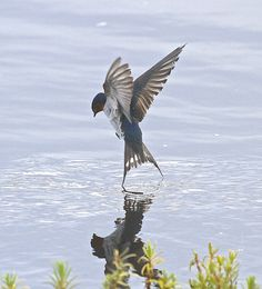 welcome swallow - Google Search