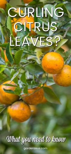 Why are the leaves on your orange and lemon trees curling? #citrus #orange #lemon #curling