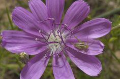 Skeleton Plant Flower | Photo 746-04: Blue flower of Skeleton plant (Lygodesmia texana) in Old ...