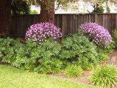 Geranium maderense in Marie's garden in California--click through for more photos of this garden