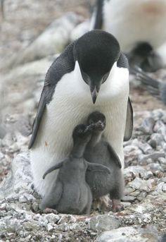 adelie penguin family