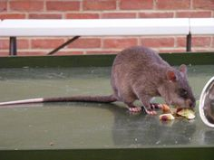 gambian pouched rat