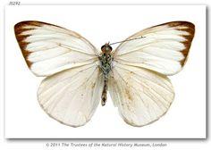 Ascia monuste eubotea (type specimens)