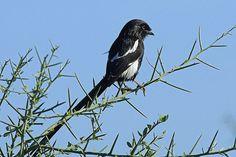 Magpie Shrike, Tarangire, Tanzania | Flickr - Photo Sharing!