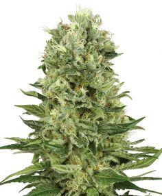 Eine generell klassische Ganja-Zucht, welche ihre Genetik einem Hauptteil der heutigen Ganja-Samen zugrunde liegt. Zu Beginn war diese eine Vermischung aus kolumbianischen, mexikanischen und afghanischen Sorten, wenngleich die 50% Sativa/50% Indica-Genetik geboren wurde, die zu einer neuen Cannabis-Generation führt. Über die Zeit wurde an dieser Aufzucht gearbeitet, um den süßlichen Geschmack und die großen Buds …
