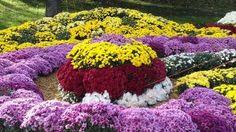 Шарик из хризантем разного цвета