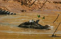 Black Caiman with butterflies
