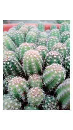 #cactus #green #nature #spring