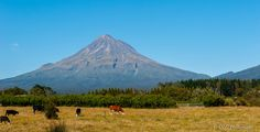 Cattle in front of Mt. Taranaki, North Island, New Zealand by OLC Photography on 500px
