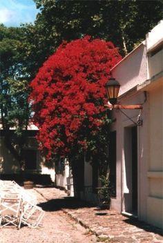 Nativa da América do Sul a Primavera é um arbusto de característica trepador que também pode ser conduzida como árvore. Também pode ser fac...