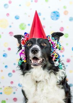 Black and white border collie wearing a red birthday hat streamers on his ears and wearing the happy dog face.