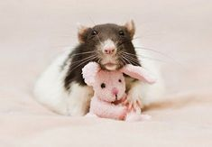Rats-with-Teddy-Bears-4