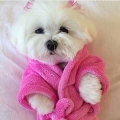 Maltese In Pink Bathrobe Pictures, Photos, and Images for Facebook, Tumblr, Pinterest, and Twitter