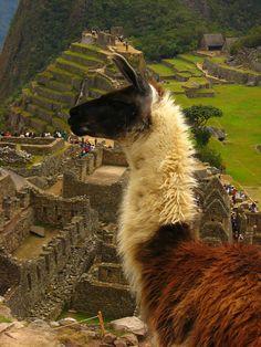 Llama en Macchu Picchu