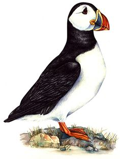 Lizzie Harper step by step illustration of a puffin natural science illustration Bilder Lizzie Harpe Watercolor Paintings Of Animals, Watercolor Paintings For Beginners, Watercolor Bird, Science Illustration, Bird Illustration, Puffins Bird, Bird Artwork, Step By Step Painting, Wildlife Art