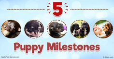 There are five major age-related milestones in the life of a puppy: whelp, neonate, the transition period, the awareness period and the socialization period. http://healthypets.mercola.com/sites/healthypets/archive/2017/01/23/5-puppy-milestones.aspx
