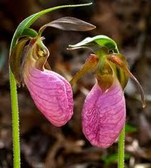 The incredible Pink Lady Slipper, the elusive North American Orchid (the only type native to this continent, I believe and it comes in pink and yellow). I have found it two times in my lifetime. One bed in my hometown of Old Tappan, NJ. A secret place I only told a few about. I never picked them there, as they were protected. But, recently a few years ago when visiting my parents I found a flower and transplanted it with success to my Mom's backyard where it blooms still. Do the new owners…