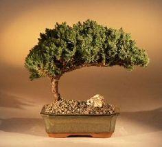 Bonsaiboy Juniper Bonsai Tree - Mediu... $24.95
