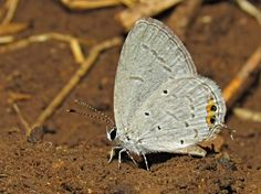 Orange-tipped Pea-blue from Nana Varachha, Surat, Gujarat, India on March 27, 2016 at 12:46 PM IDT by Mohit Patel.  Male , Taking Minerals from the Wet Soil