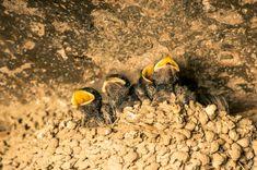 Segunda de polluelos de «golondrina común»