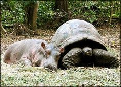 Hippo and Turtle, one happy family