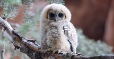 The Forest Service will allow clear-cutting of a threatened owl's habitat -- but the agency's priority might not be saving the environment.