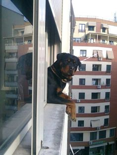 Rotweiler and a Window