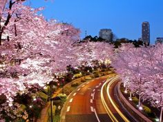 Tokyo has many famous cherry blossom spots, Chidorigafuchi in Kudanshita, Meguro River at Naka-Meguro, Sumida River in Asakusa. The Roppongi area, relatively new, has emerged as a location for blossoms with the arrival of Roppongi Hills and The Tokyo Midtown. Chidorigafuchi is about beautiful light-up, Meguro is about romantic setup on the river side, the blossoms  in Roppongi and Midtown contrast the office buildings which are the centre's of financial activity of the city, a very…