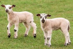 10 lambs savaged by dogs in Co Leitrim incident - Ocean FM Cute Puppies, Cute Dogs, Pregnancy Books, 3 Month Olds, Kylie Jenner, Savage, Animals, Lambs, Youtube