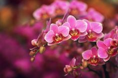 Pink again - Orchids  Keukenhof 2013