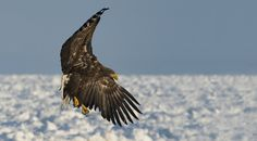 #White_Tail_Sea_Eagle - I named this Image (Flight of an Eagle) - copyrighted - bruna@thrumyafricanlens.co.za