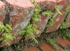 Growing in the bricks.  Fort Canning, Singapore. by janetvincent, via Flickr