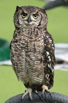 Bird of prey Owl London pet show Olympia 2011