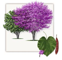 Red Bud Tree | Mature Height: 15' - 20' | Fall Color: Yellow | Growth Rate: 1' to 1.5' Per Year #trees #landscaping #gardening