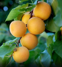 Apricot. A large yellow variety that bears from July to late August. Juicy, sweet tasting fruit which are good fresh, or for canning and drying. It is a self-polinating tree but planting two varieties is recommended for a better crop. (Zones 4-8)