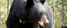 Alberta Sustainable Resource Development says 145 black bears were killed by Fish and Wildlife conservation officers last year after being habituated to garbage in the tar sands region.